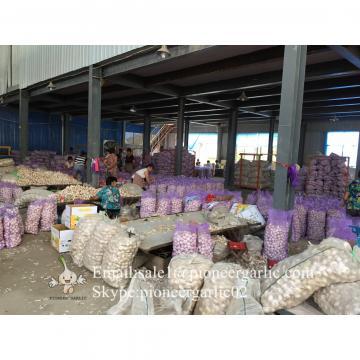 Jinxiang Fresh 5.5-6.0cm Chinese Red Garlic Packed in Mesh Bag for Garlic Wholesale Buyers around the world