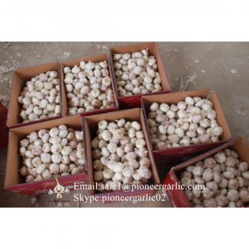 New Crop 6cm and up Purple Fresh Garlic In 10 kg Box packing