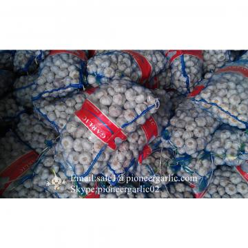 Jinxiang Fresh 5.5-6.0cm Chinese Purple Garlic for Garlic Wholesale Buyers around the world
