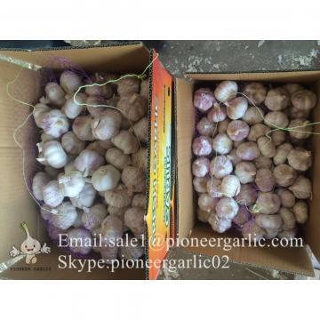 Nature Made 5.0-5.5cm Chinese White Garlic Material of Black Garlic in Mesh Bag