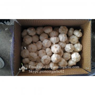 New Crop 6cm and up Purple Fresh Garlic In 10 kg Mesh Bag packing