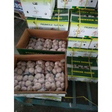 Normal White Garlic Loose Packing in Mesh Bag or Carton Box produced in Jinxiang