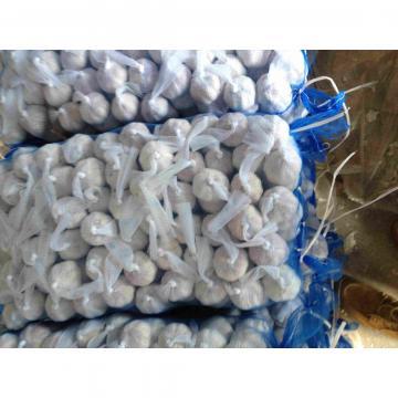 5.5cm Normal White Garlic Packed in Mesh Bag