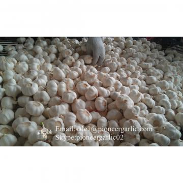 Chinese Pure White Garlic Not Solo Garlic Processed in Garlic Factory Located in Jinxiang China for Sale