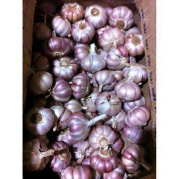 Portuguese Fresh Garlic Seeds Bulb
