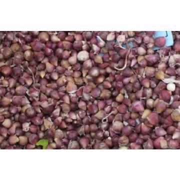 Very Rare-Chamisal Wild garlic -Rocambole-Hardneck 25 bulbils,planting